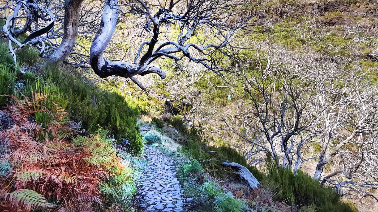 Ghost Forest on Pico do Areiro