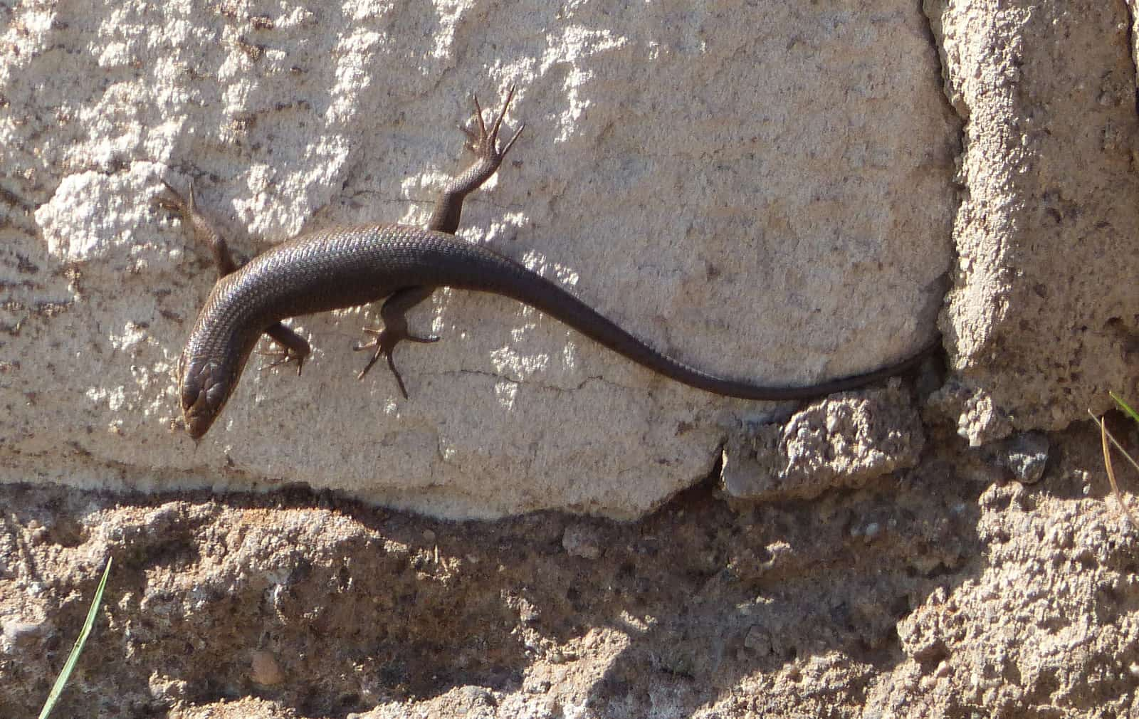 Kalahari Lizard