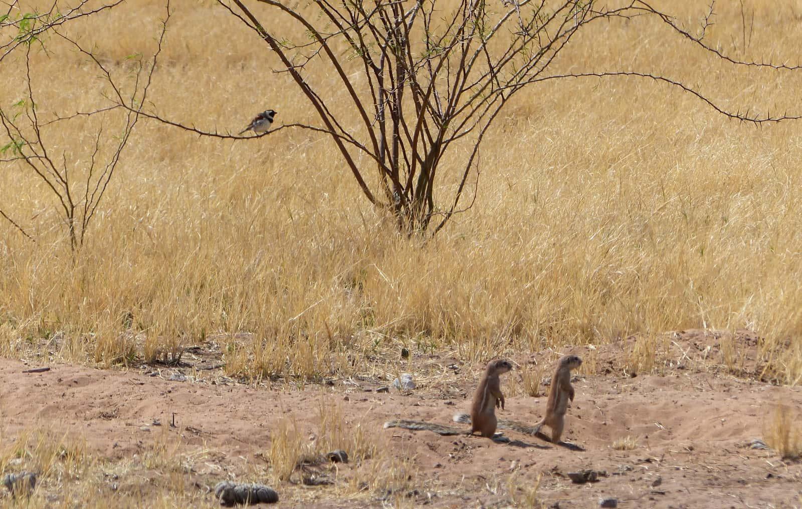 Kalahari Erdmännchen