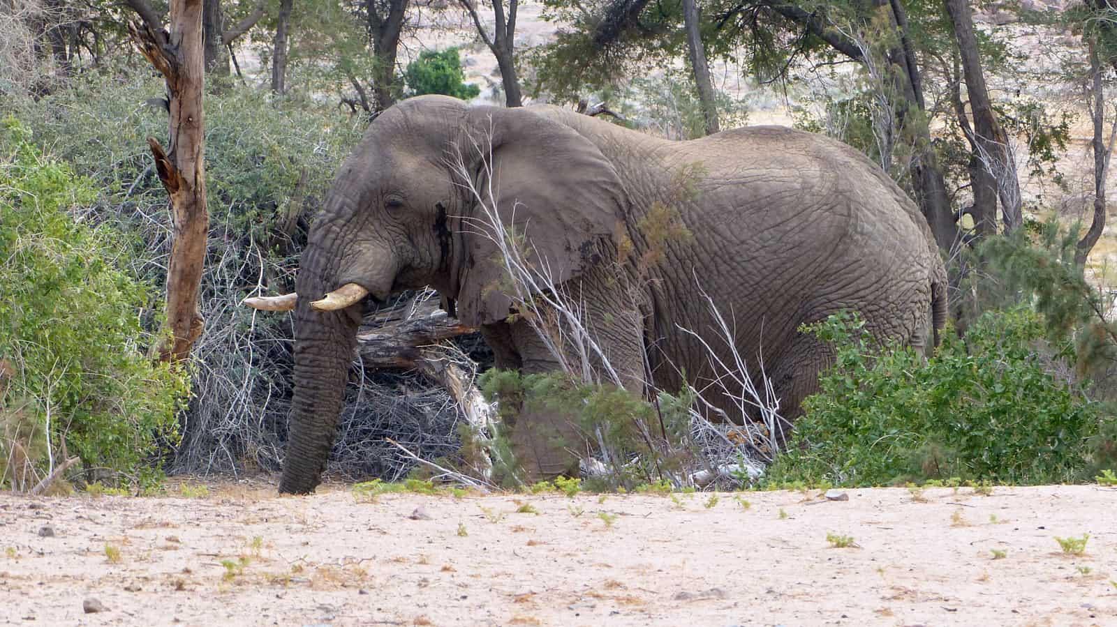 Elephant at Brandberg