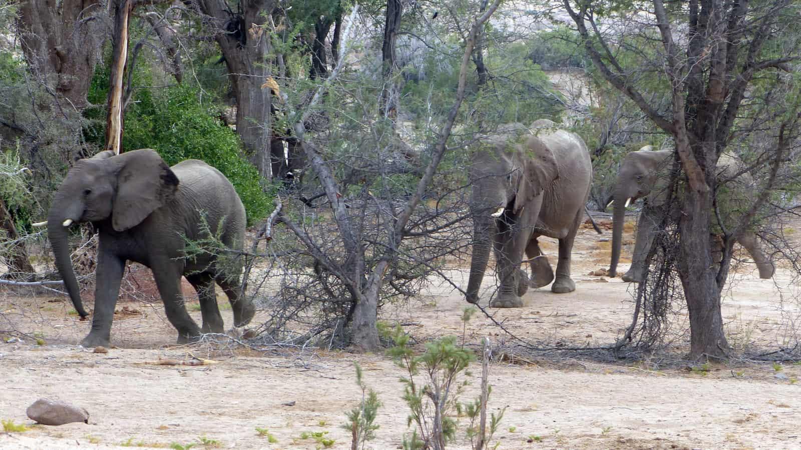 Brandberg Elephants