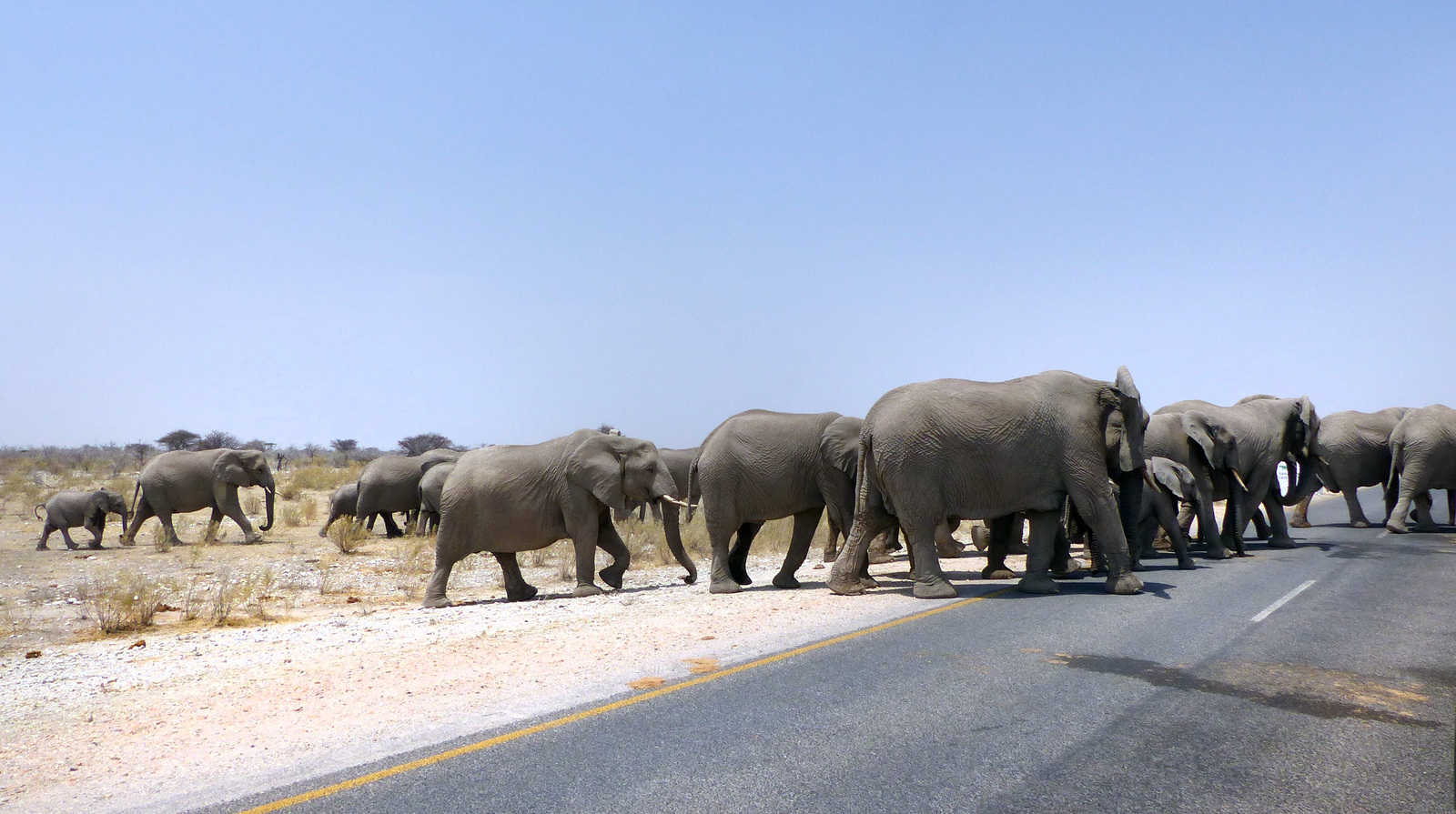 Elephant herd crossing the road in Etosha, Namibia