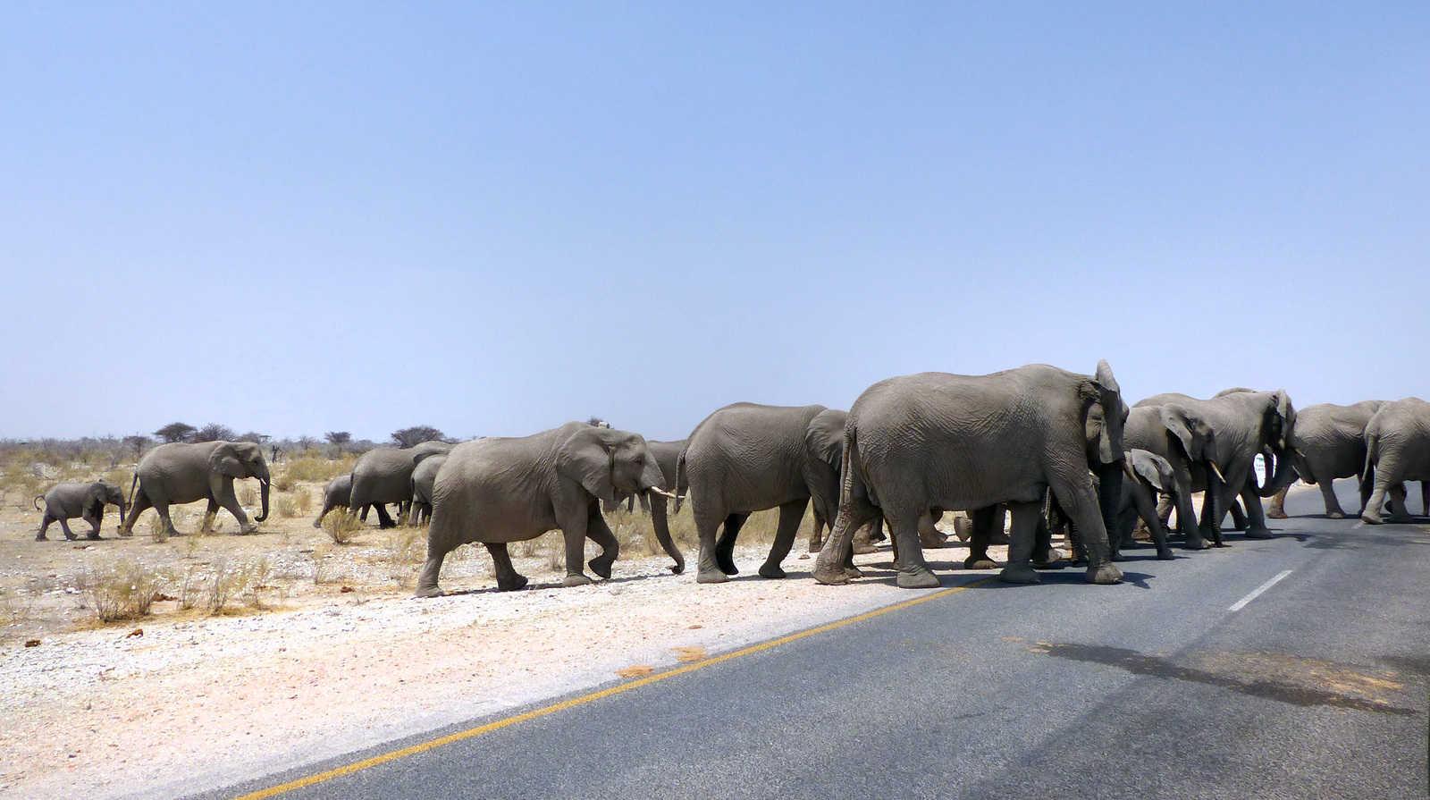Elephant herd crossing the road in Etosha, Namibia
