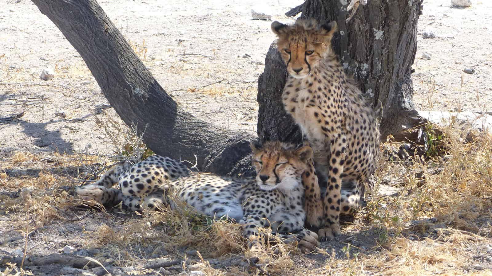 Cheetahs at Etosha, Namibia