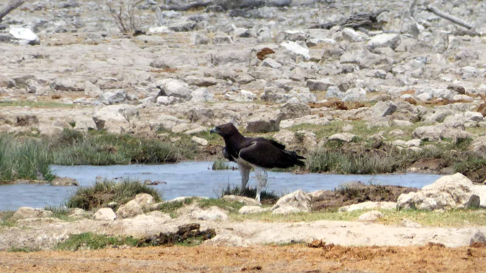 Eagle at Etosha Waterhole