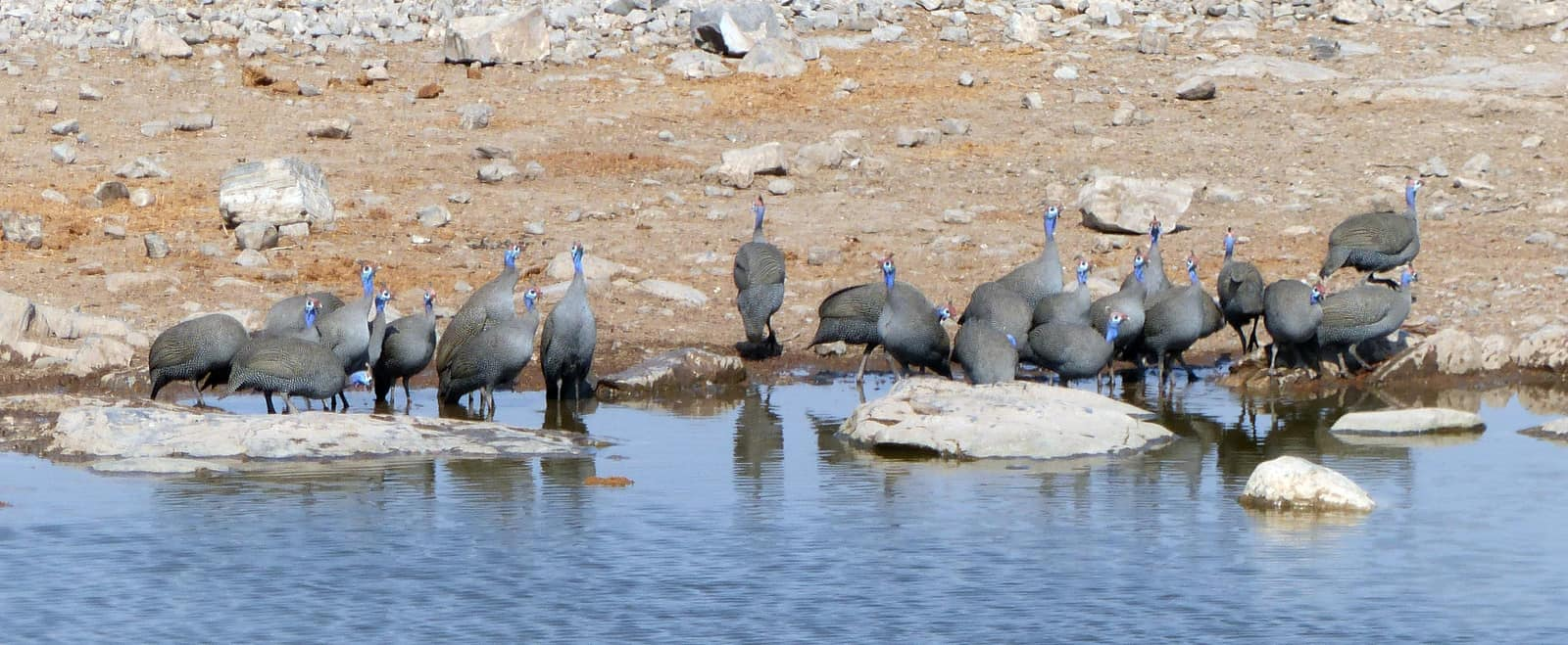 Guinea Fowls at a Waterhole in Etosha