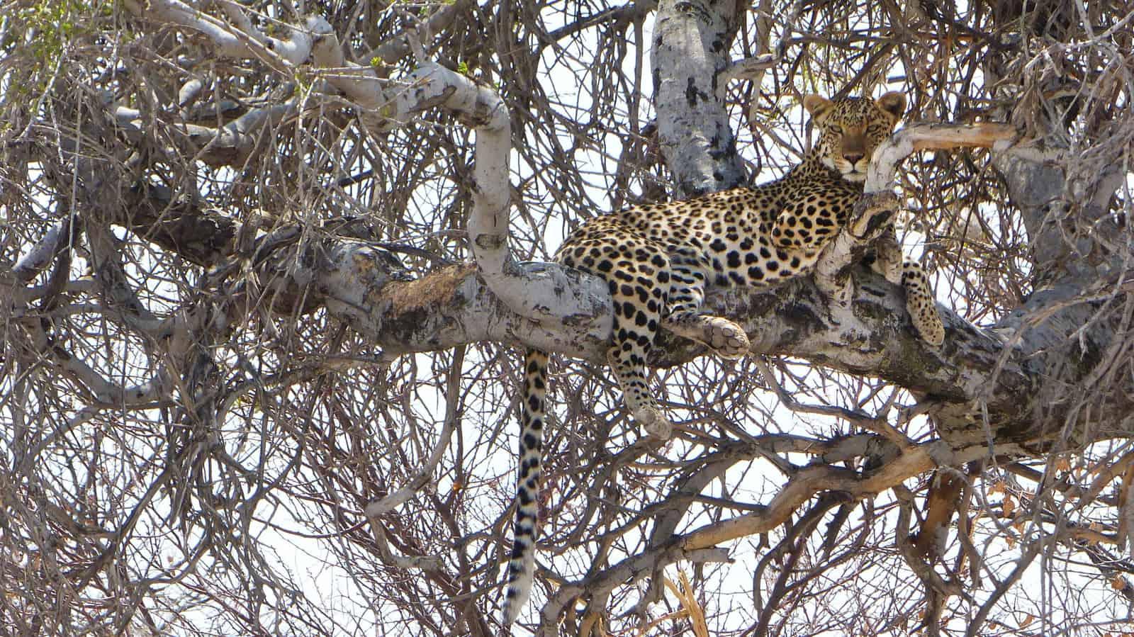 Leopard at Etosha National Park, Namibia