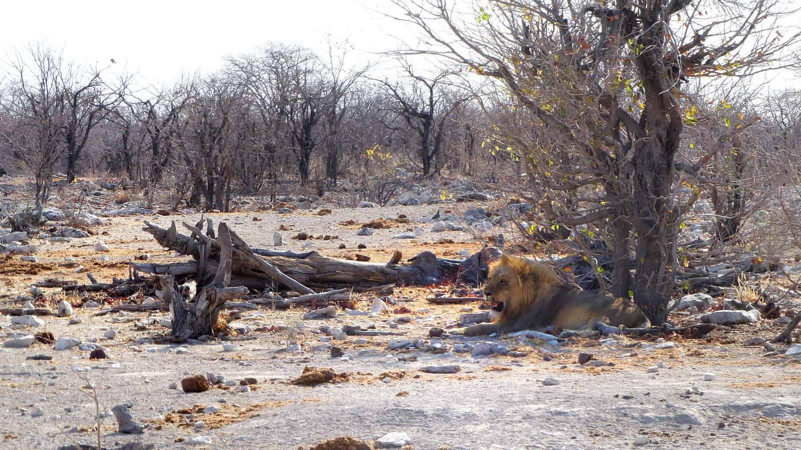Lion at Kalkheuwel Waterhole, Etosha