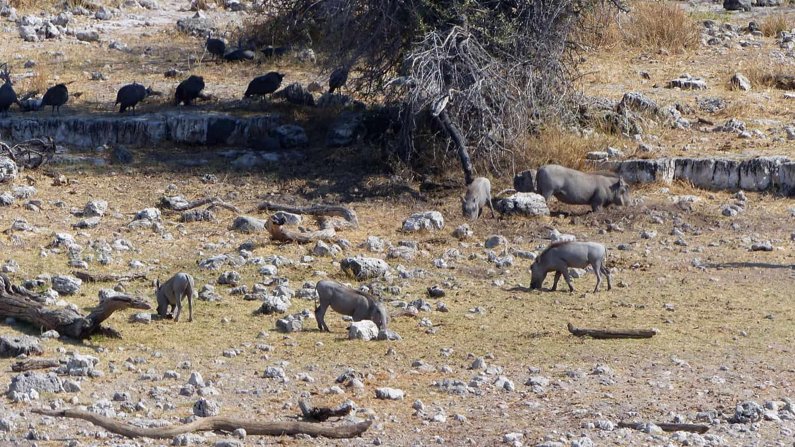 Etosha Warthogs