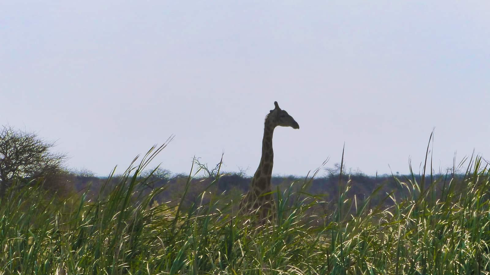 Giraffe at Etosha, Namibia