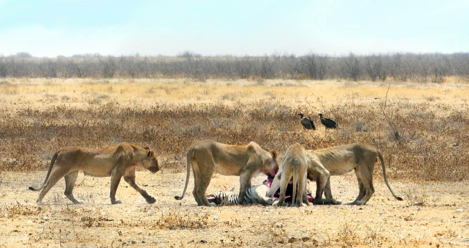 Lions eating a Zebra at Etosha, Namibia