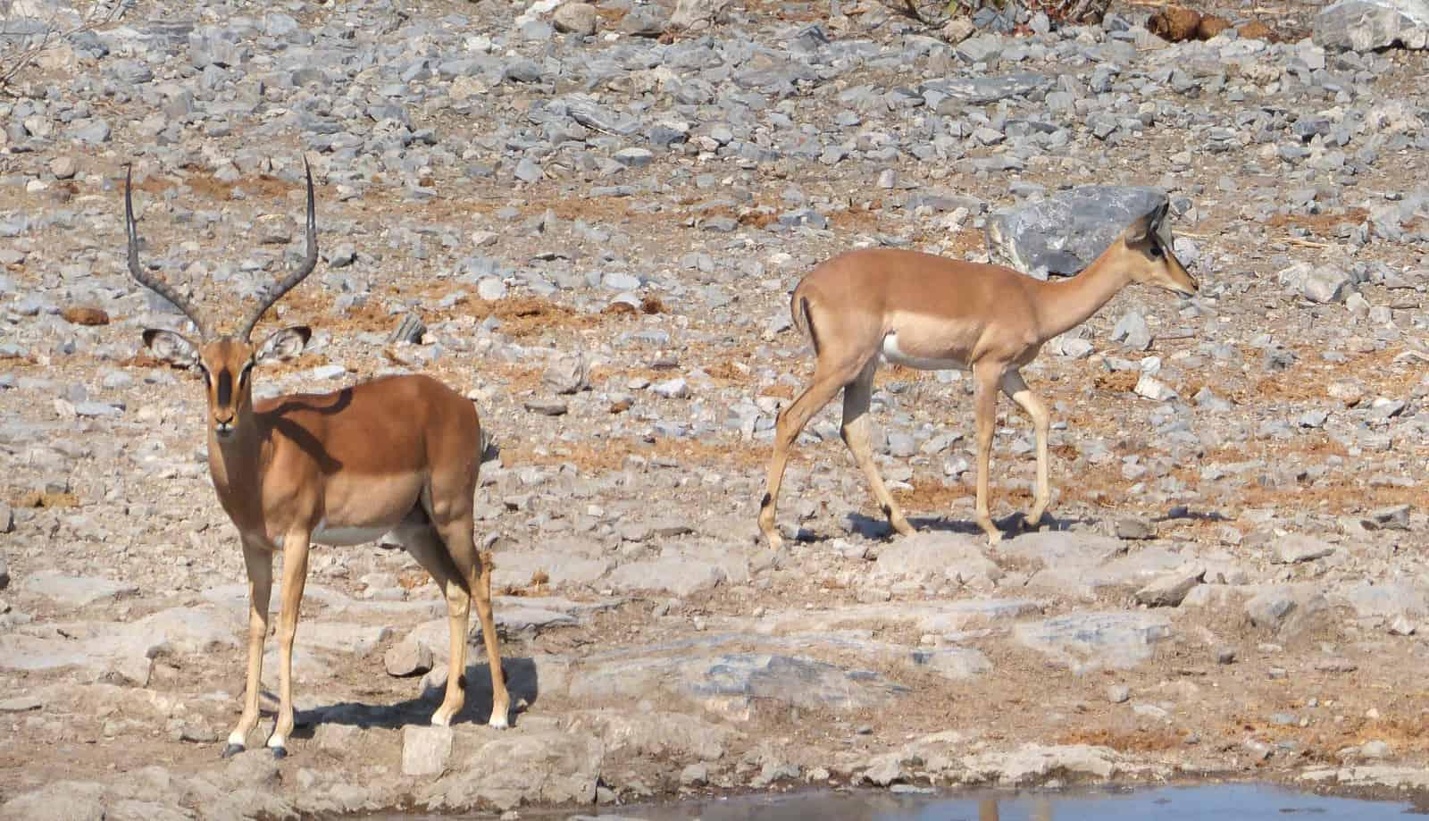 Impalas at Etosha, Namibia