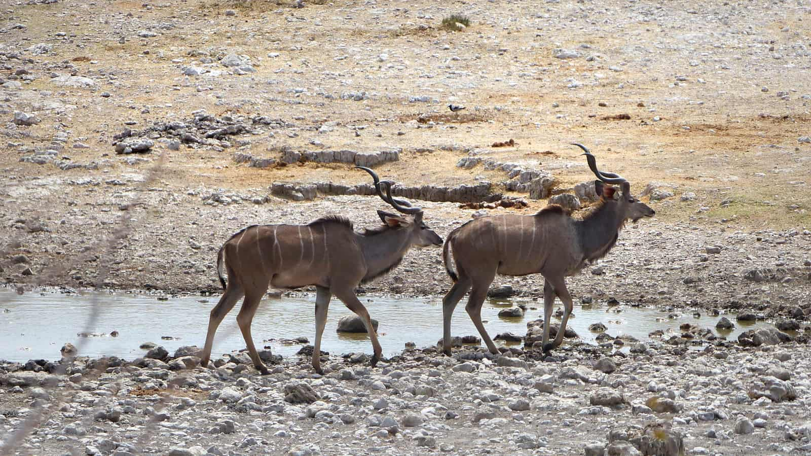 Kudu Antelopes at Etosha, Namibia