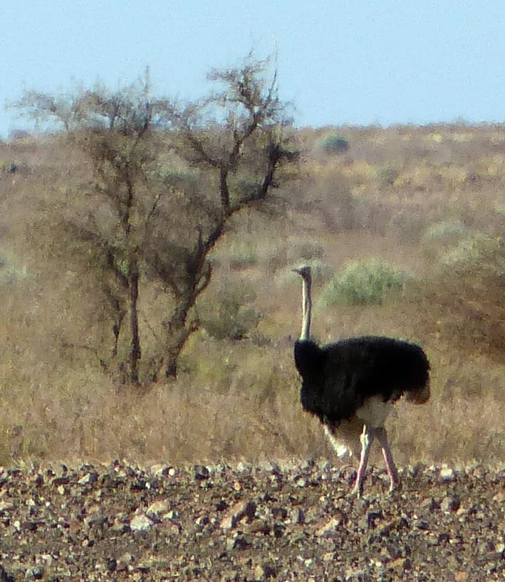 Namibia Ostrich