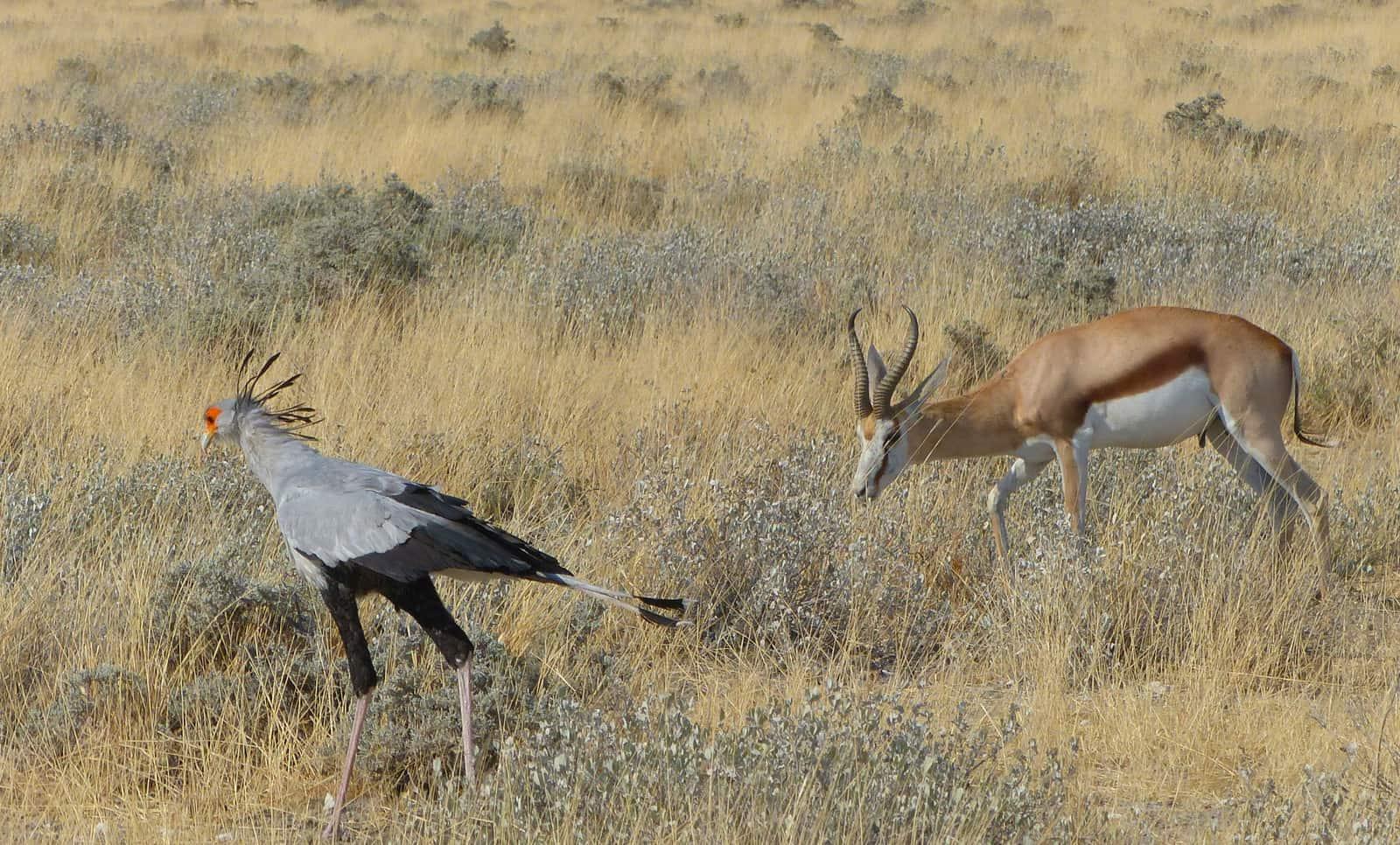Secretary Bird in Etosha, Namibia