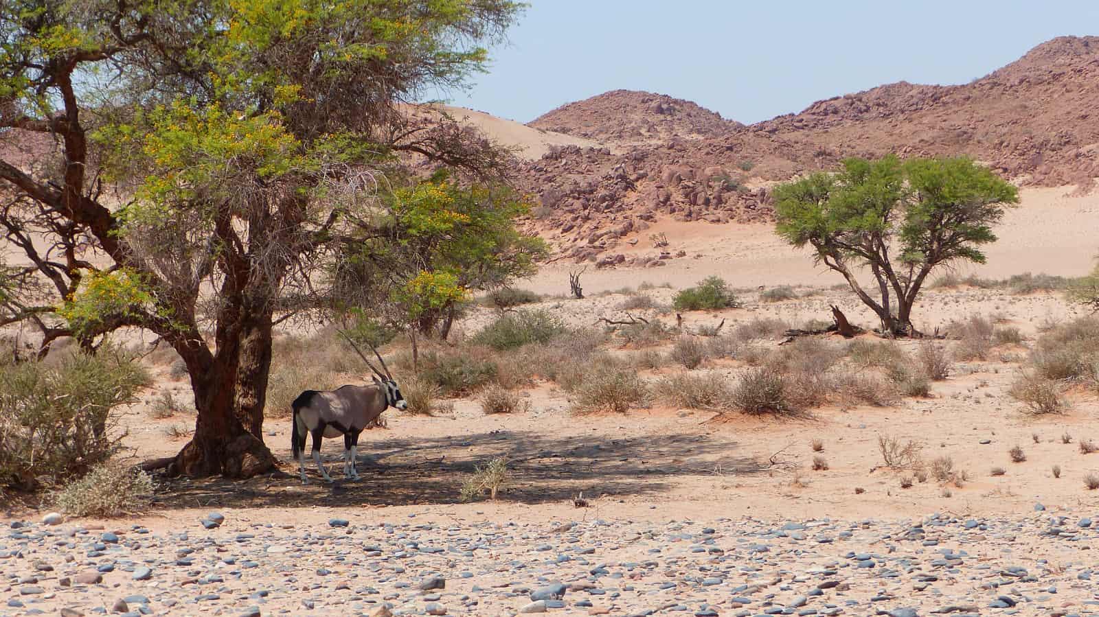 Oryx Antelope at Sossusvlei