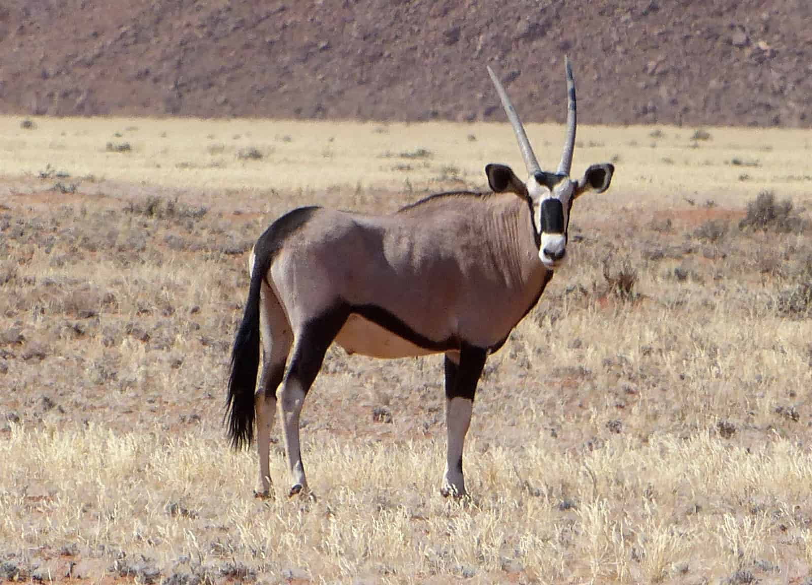 Tiras Mountains Oryx Antelope