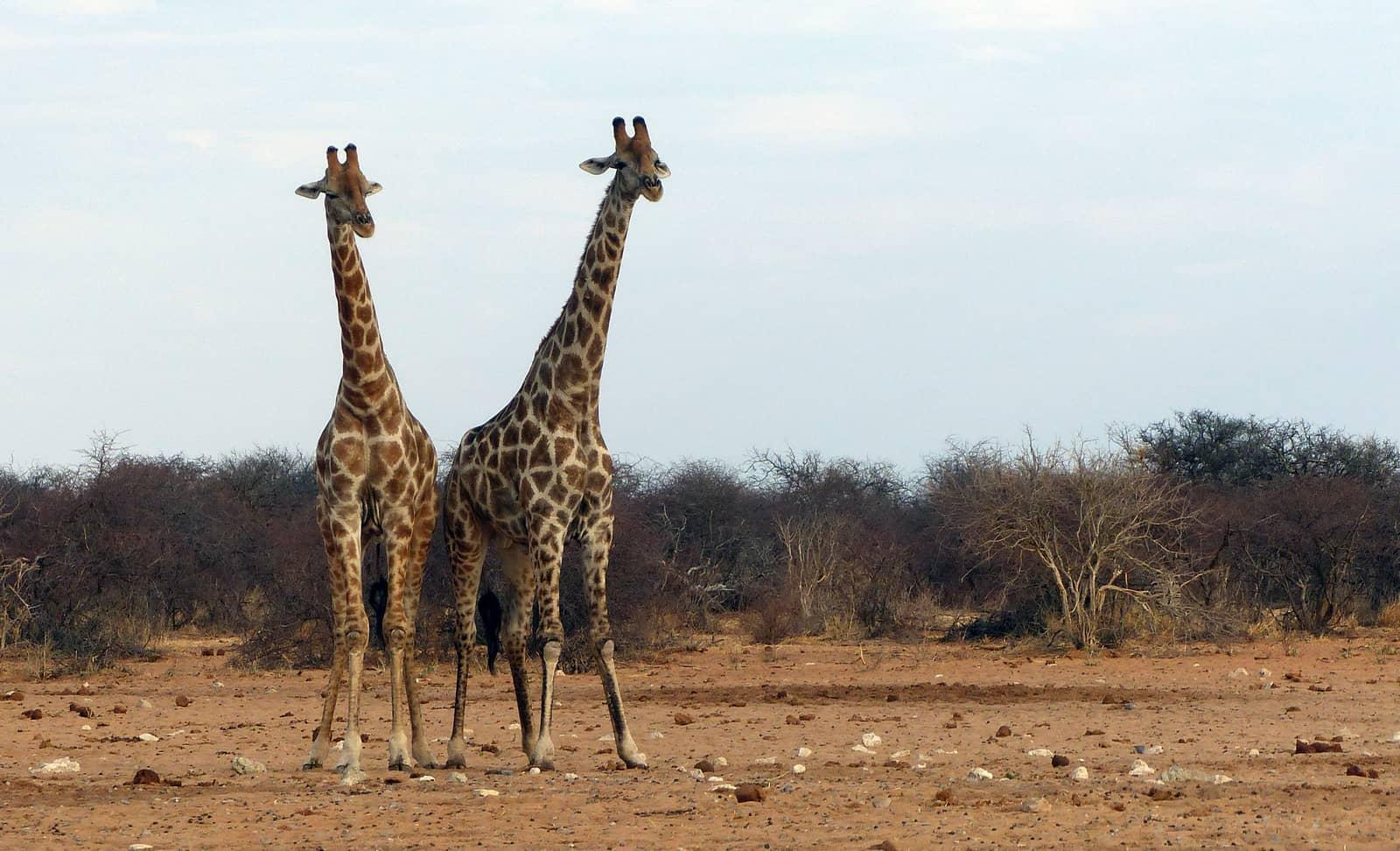 Giraffes at Tsumcor Waterhole, Namibia