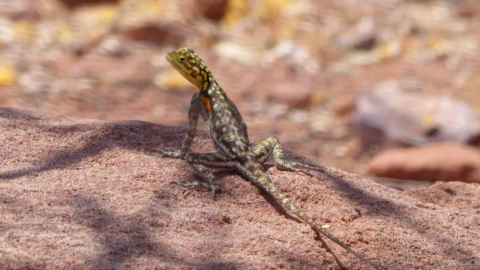 Twyfelfontein Agama