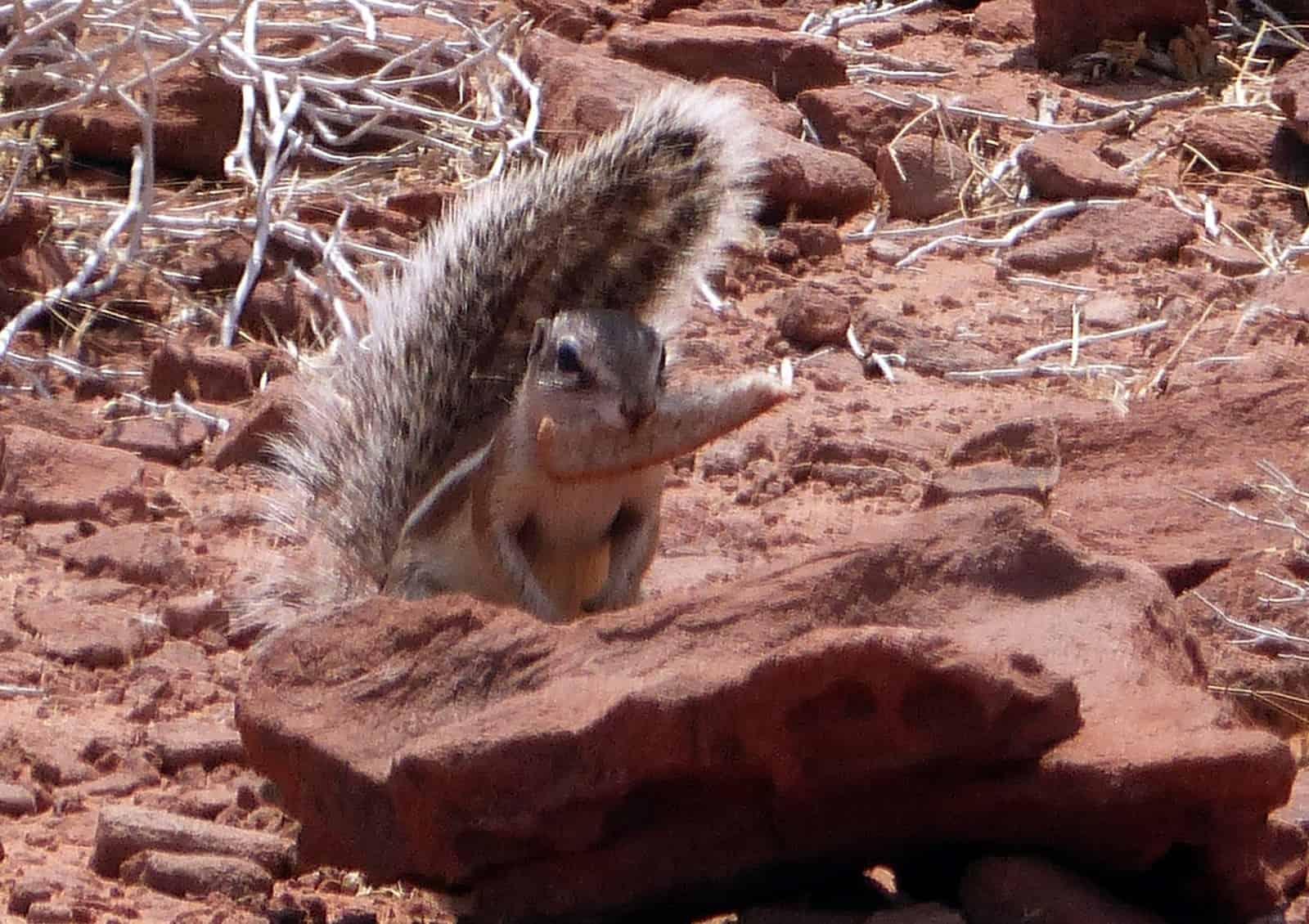 Twyfelfontein Squirrel
