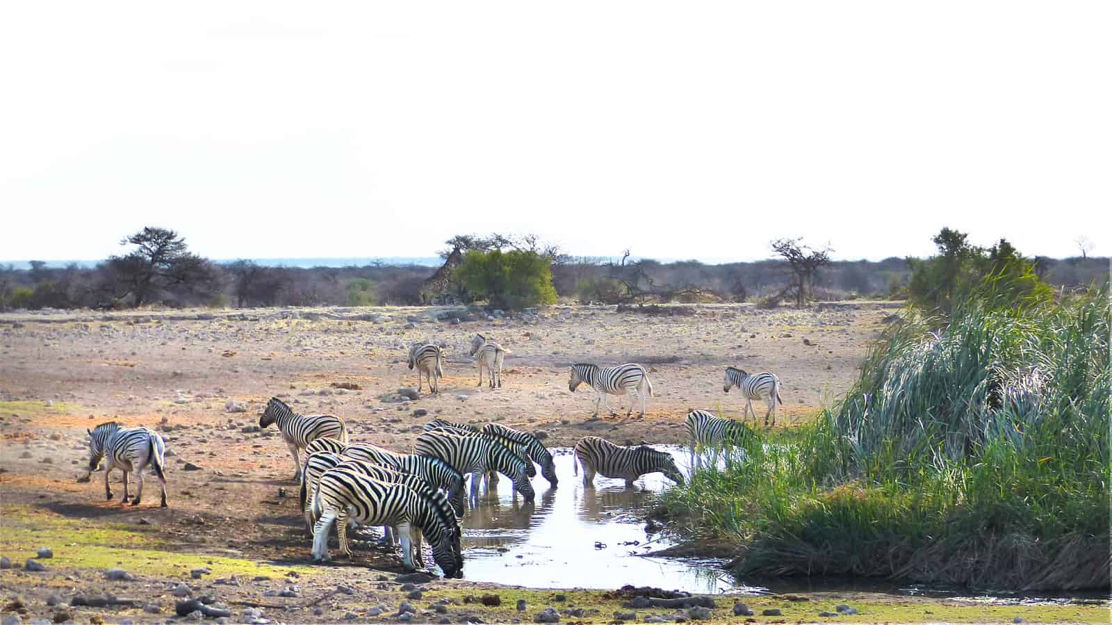 Zebras at Koinachas Waterhole