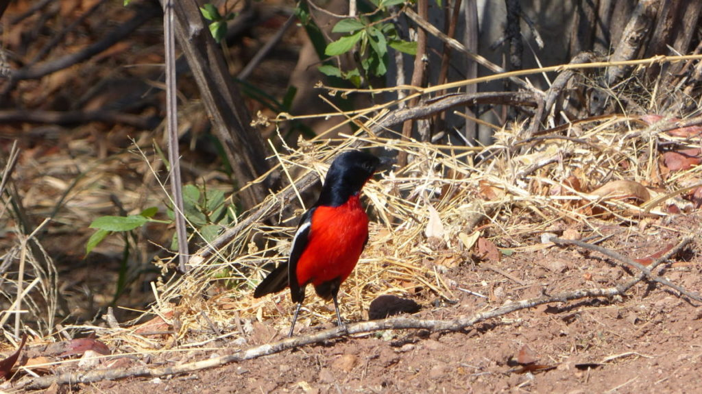 Otjiwa Bird