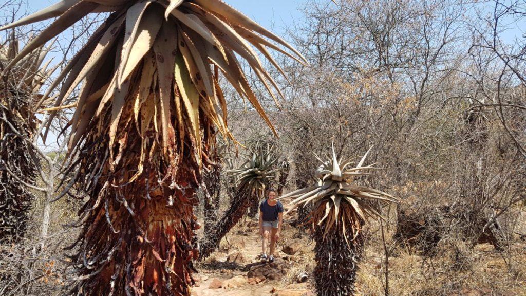 Waterberg Aloe