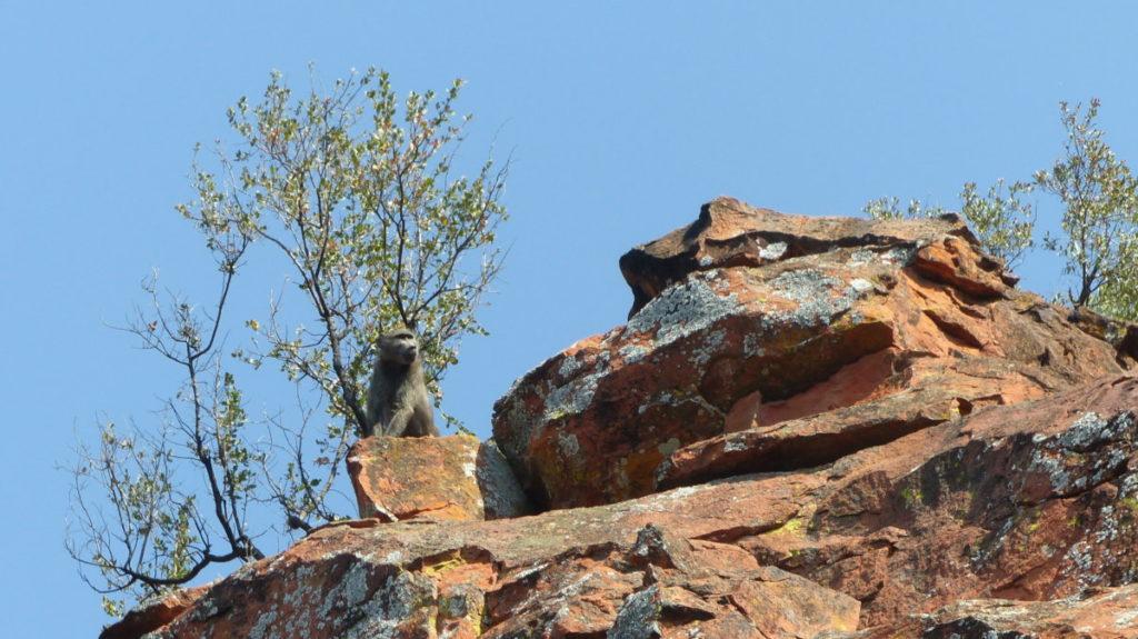 Waterberg Baboon
