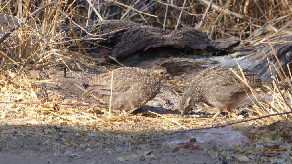 Waterberg Chicks
