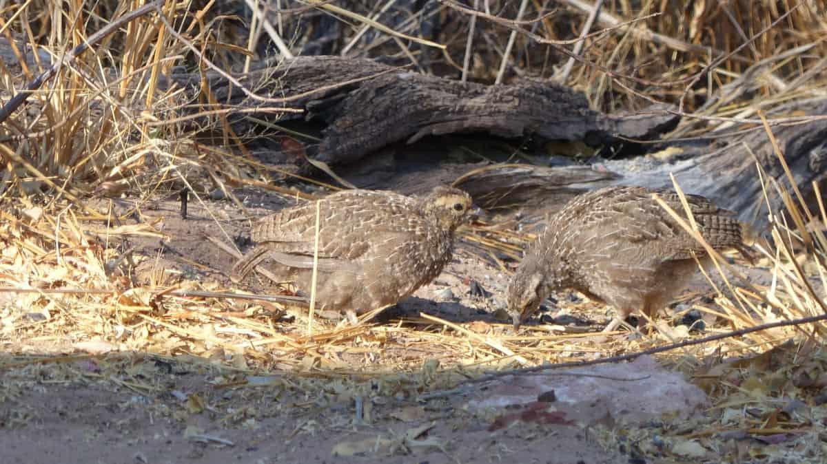 Waterberg Chicks