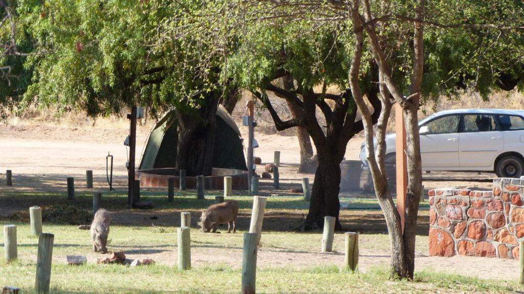 Waterberg Campsite Warthog